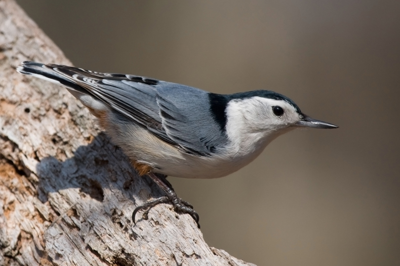 White-breasted NuthatchMb040711_72ppi