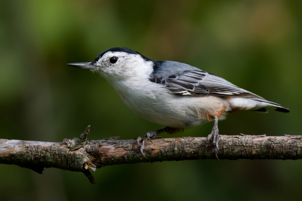 White-breasted NuthatchMb082312_72ppi