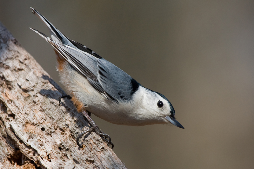 White-breasted NuthatchMc040711_72ppi