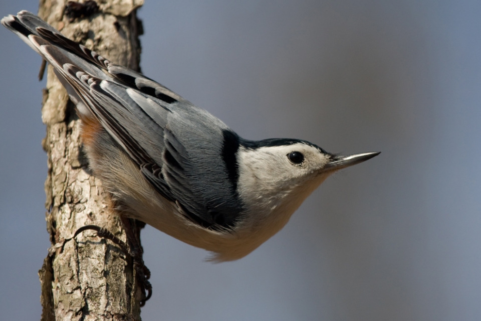 White-breasted NuthatchMd040711_72ppi