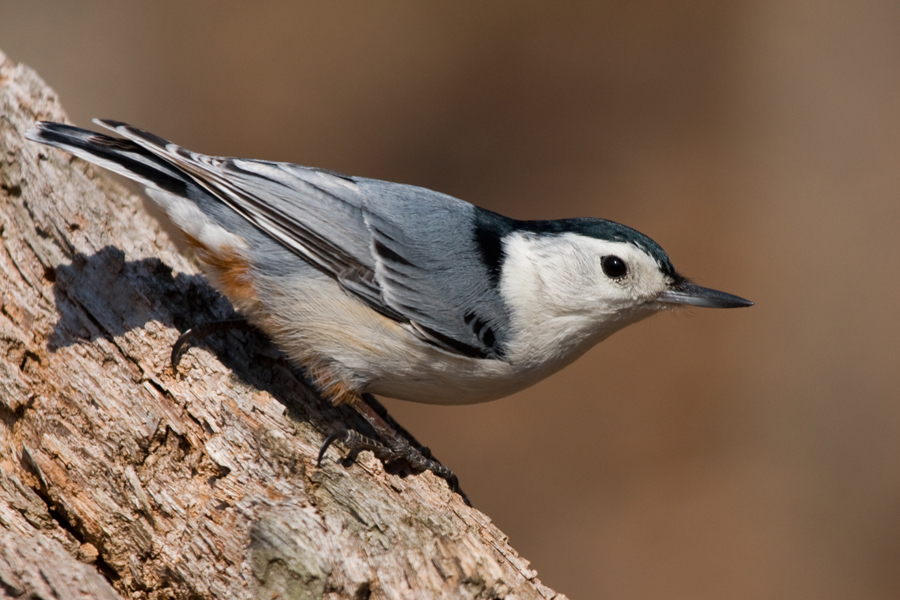White-breasted NuthatchMe040711_72ppi