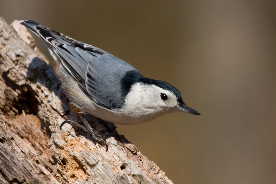 White-breasted NuthatchMf040711_72ppi