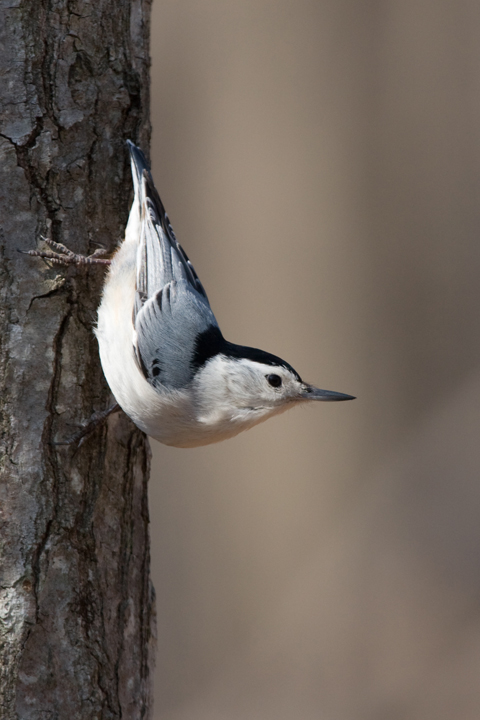 White-breasted NuthatchMg040711_72ppi
