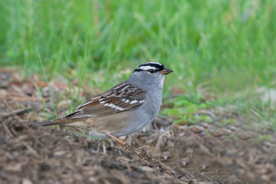 White-crowned SparrowMa05.01.09