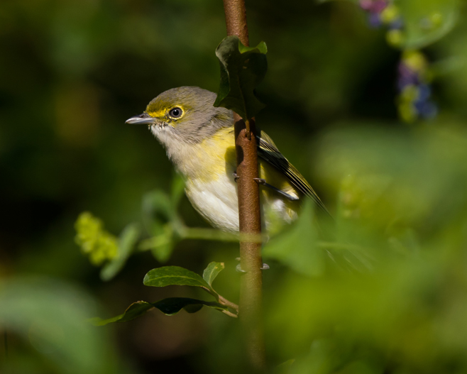 White-eyed VireoHYMa092009_72ppi