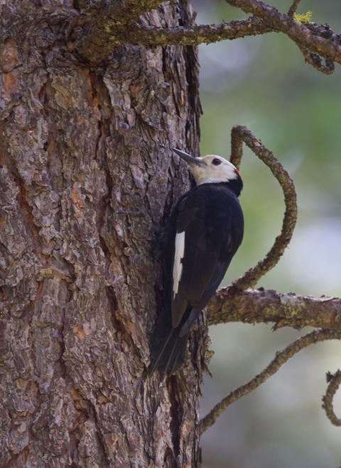 White-headed WoodpeckerMa062410_72ppi