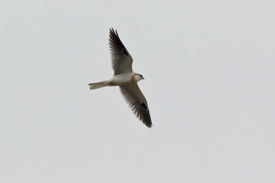 White-tailed KiteHY4_72ppi