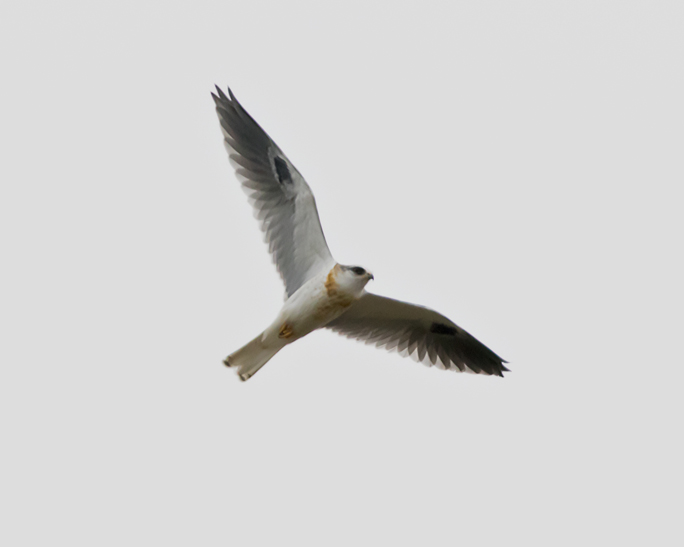 White-tailed KiteHYa082115_72ppi