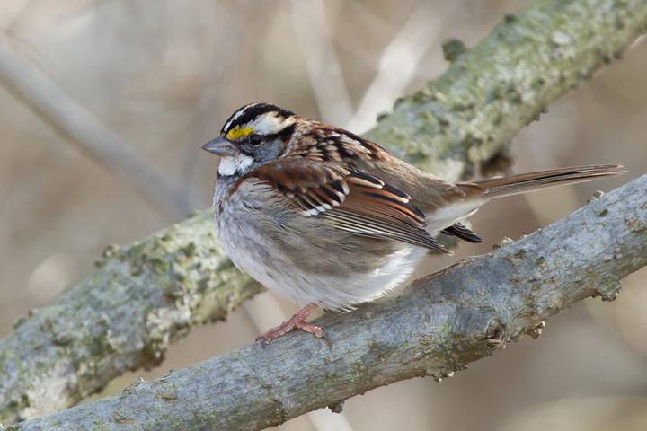 White-throated Sparrowa012713_72ppi