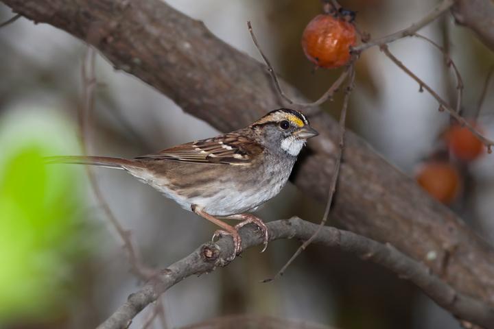 White-throated Sparrowa110114_72ppi