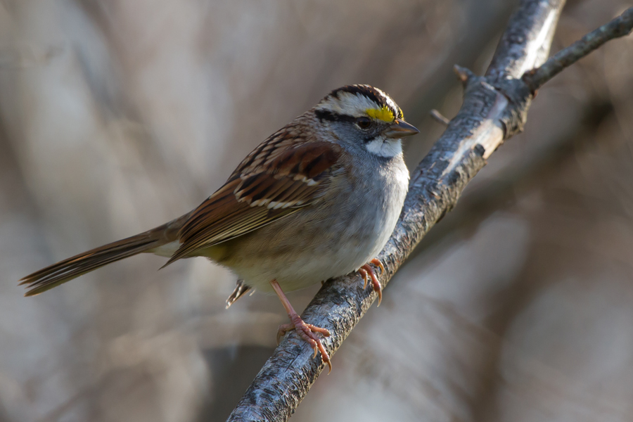 White-throated Sparrowa112912_72ppi
