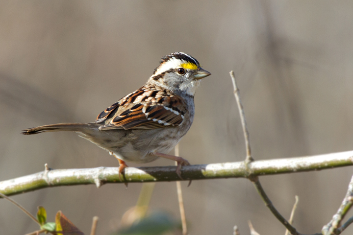 White-throated SparrowAda010813_72ppi