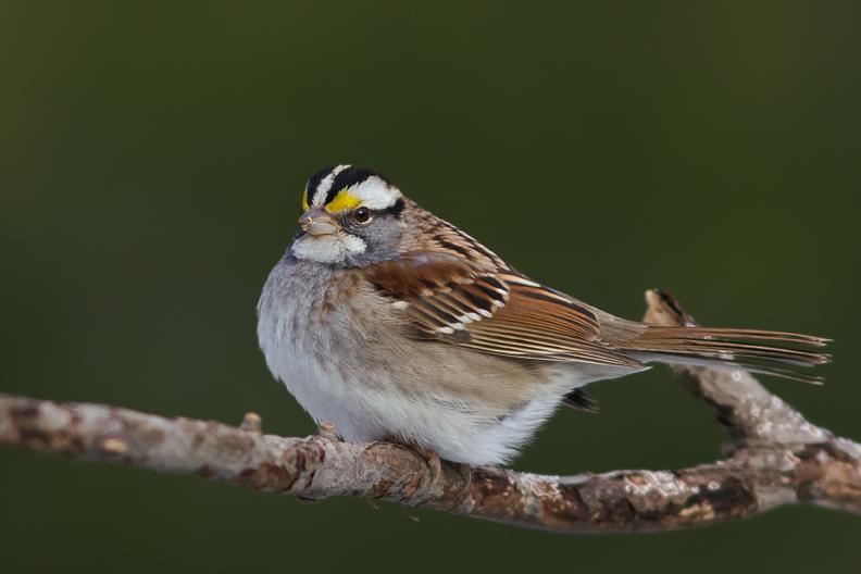 White-throated SparrowAdMa012814_72ppi