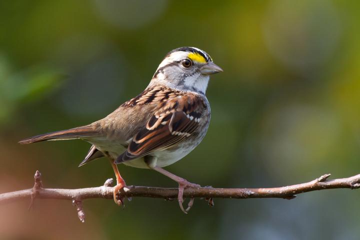 White-throated SparrowAdMa100612_72ppi