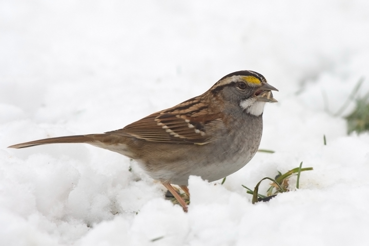 White-throated Sparrowd123109_72ppi