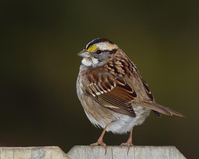 White-throated SparrowMa012613_72ppi