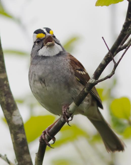 White-throated SparrowMa050216_72ppi