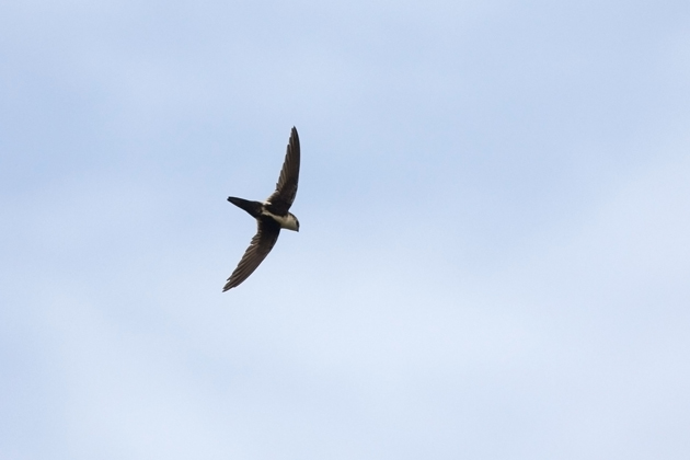 White-throated Swiftf062510_72ppi