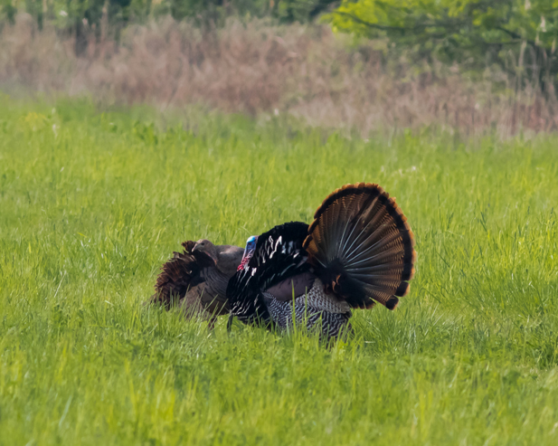 wild-turkey-pair2_72ppi
