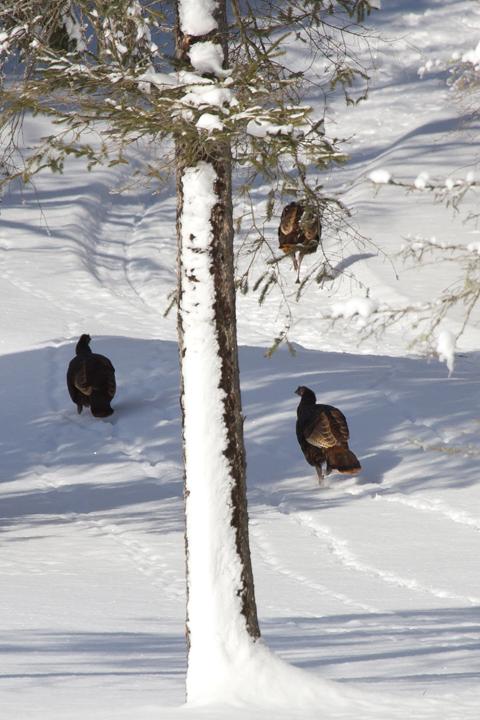 wild-turkeya122412_72ppi