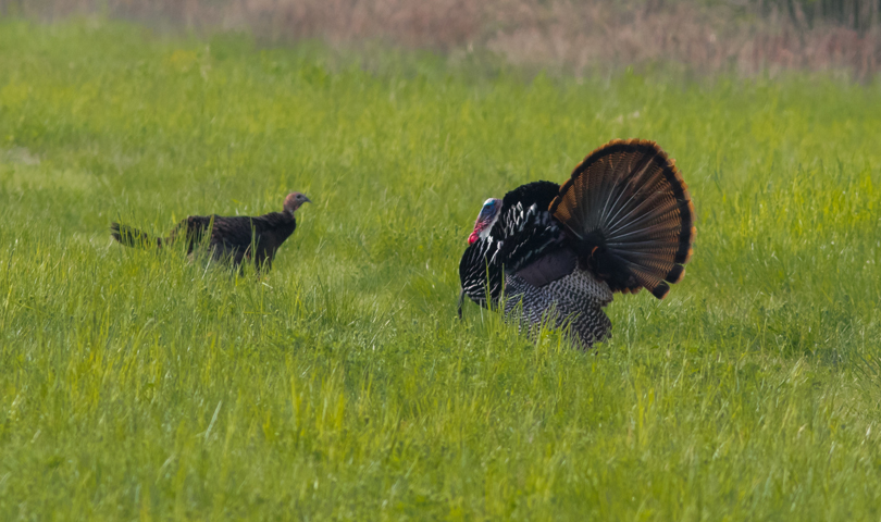 wild-turkeys1_72ppi