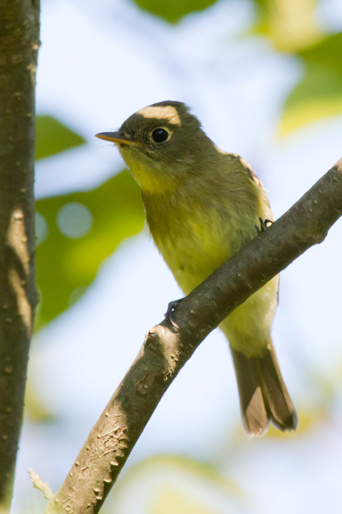Yellow-bellied FlycatcherAda082612_72ppi