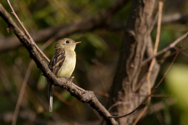 Yellow-bellied FlycatcherHYa083111_72ppi