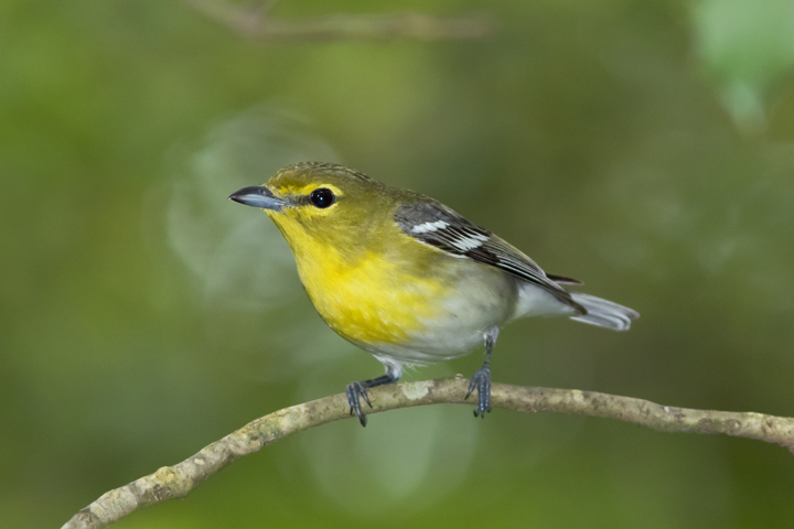 Yellow throated vireo fall - photo#4