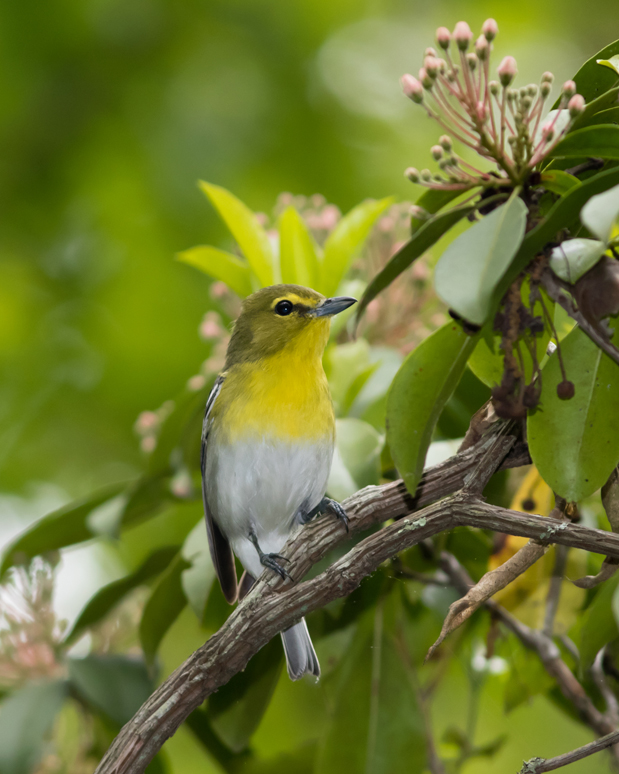 Yellow-throated Vireob051916_72ppi