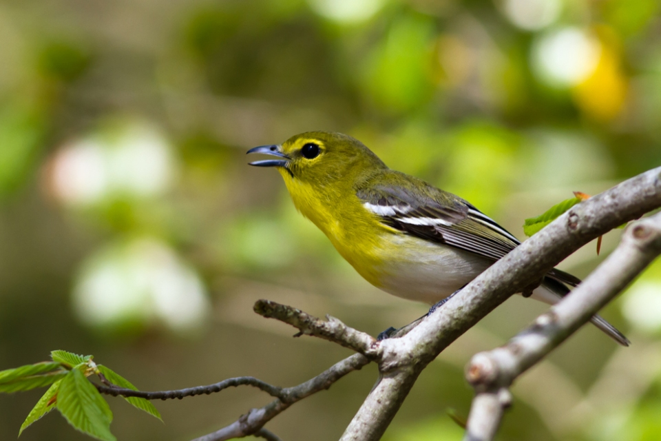 Yellow-throated VireoMa050114_72ppi