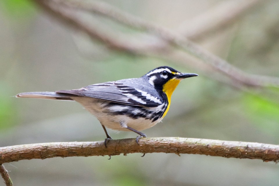 Yellow-throated Warbler_dominicaMa052108