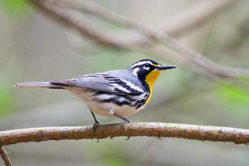 Yellow-throated Warbler_dominicaMa052108