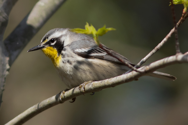 Yellow-throated WarblerF1_72ppi