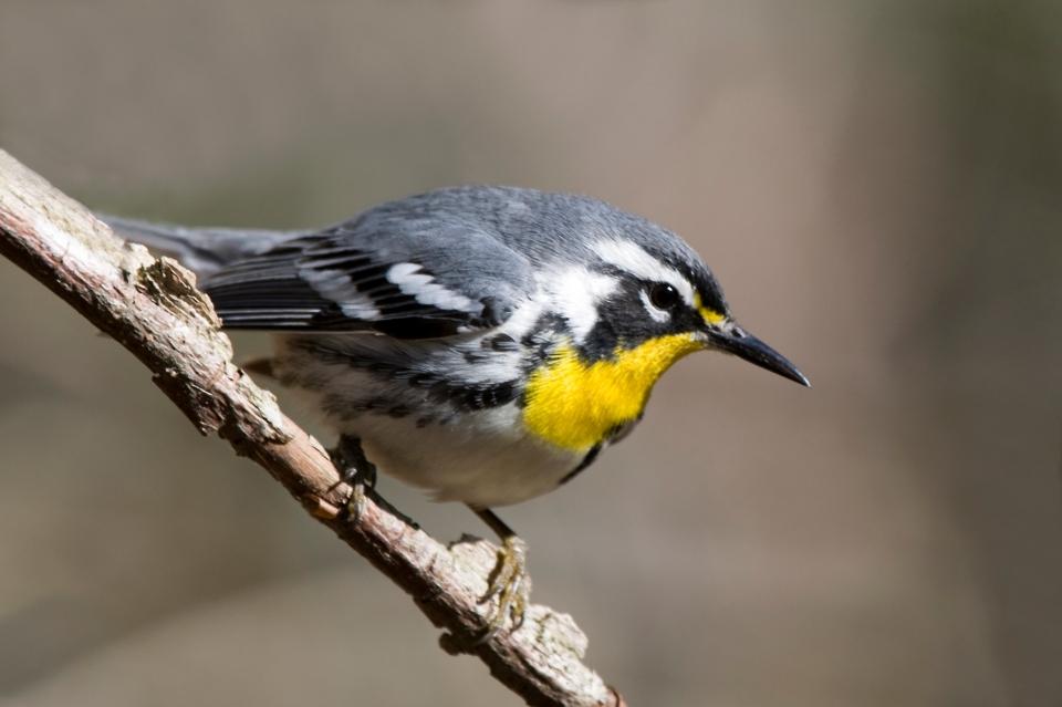 Yellow-throated WarblerMa04.15.08