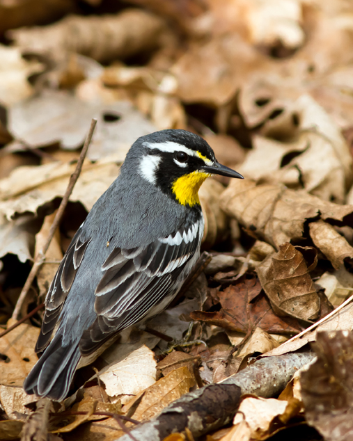 Yellow-throated WarblerMa041814_72ppi
