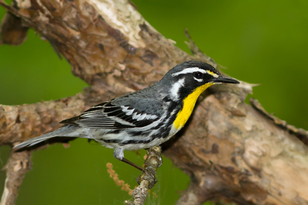 Yellow-throated WarblerMa051214_72ppi