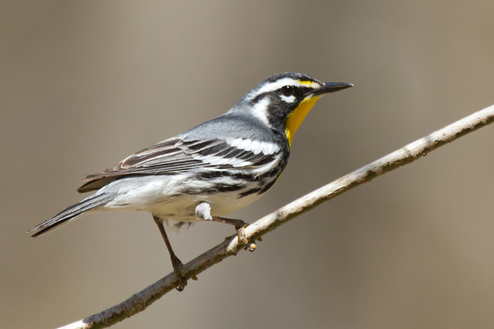 Yellow-throated WarblerMb041013_72ppi