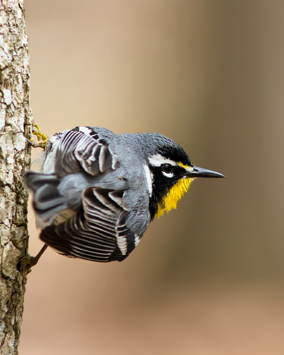 Yellow-throated WarblerMc041814_72ppi