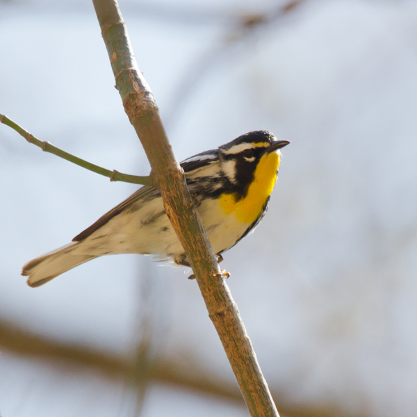 Yellow-throated WarblerMcd041013_72ppi