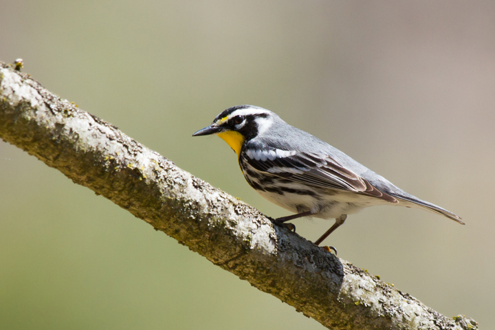 Yellow-throated WarblerMe041013_72ppi