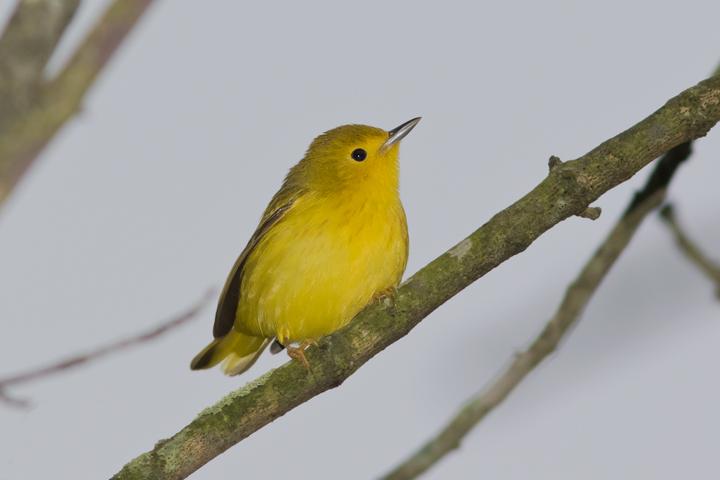 Yellow Warblera051916_72ppi