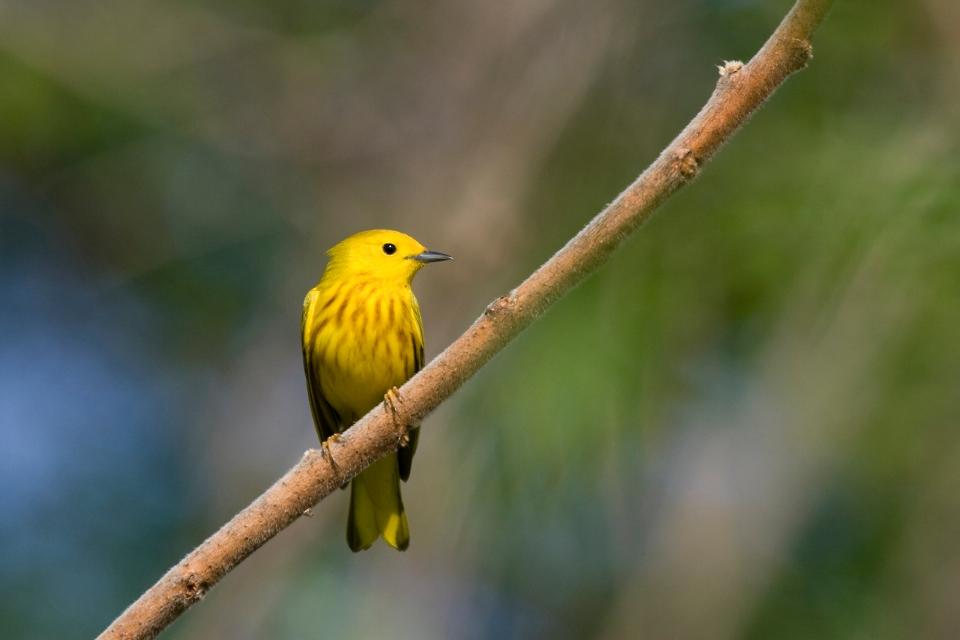 Yellow Warblerb04.28.09