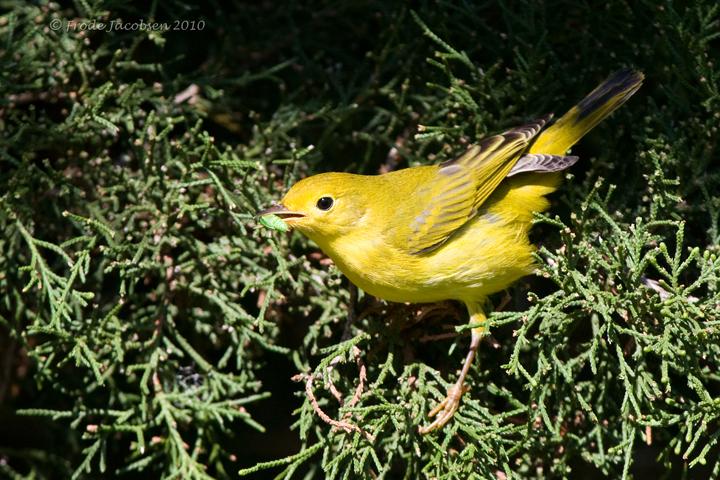 Yellow Warblercc091810_72ppi