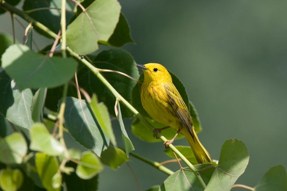 Yellow WarblerMa06.12.09