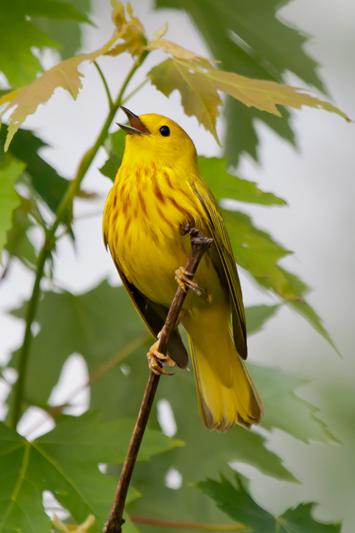Yellow WarblerMaa051808_72ppi